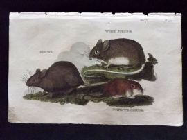 Brightly (Pub) 1811 Antique HCol Print. Mouse, Wood Mouse, Minute Mouse